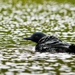 Bathing duck 2