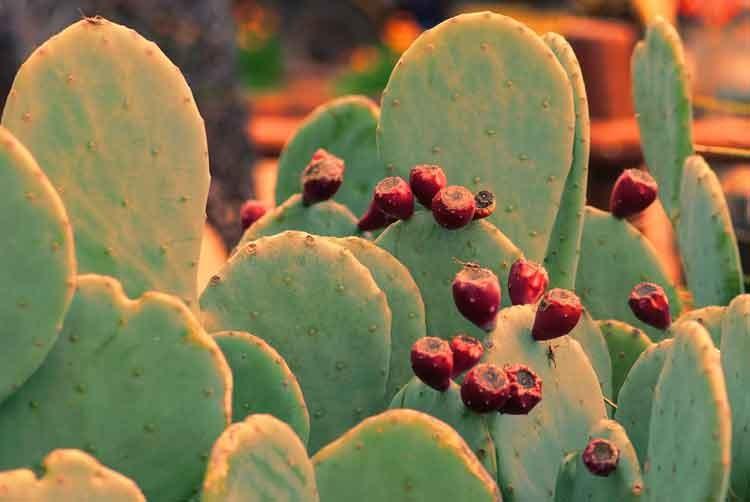 Cactus-with-blossom