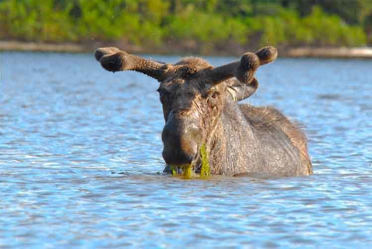 Hungry moose 2