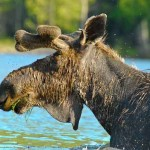 Moose flies 2