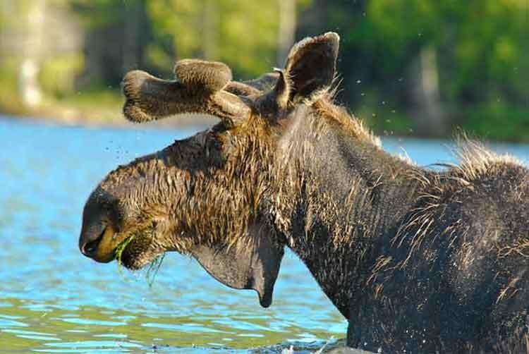 Moose flies 2