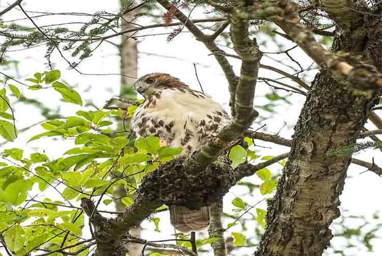 My hawk2