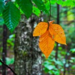 New-England-first-leaf