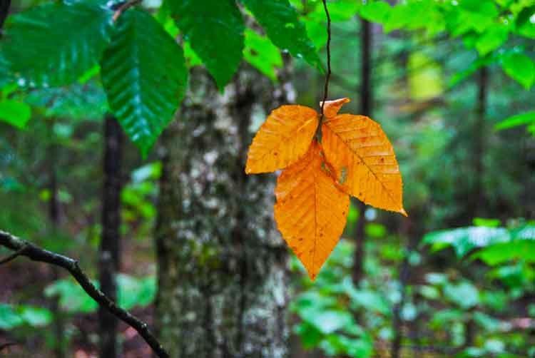 New-England-first-leaf