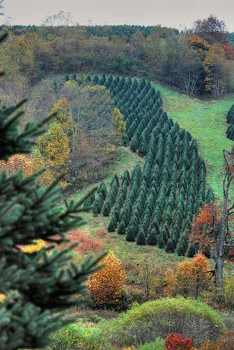 New-England-tree-farm