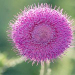 Pink-thistle