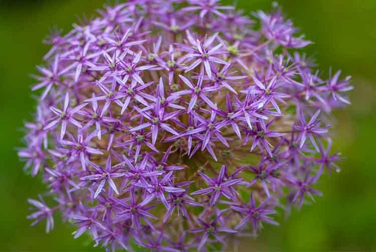 Purple-dandelein