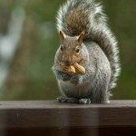Squirrel-eating-peanuts