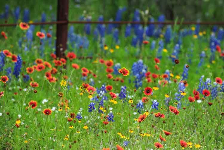 Texas-wildflowers