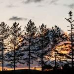 Trees-at-dusk