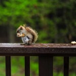 squirrel-on-rail