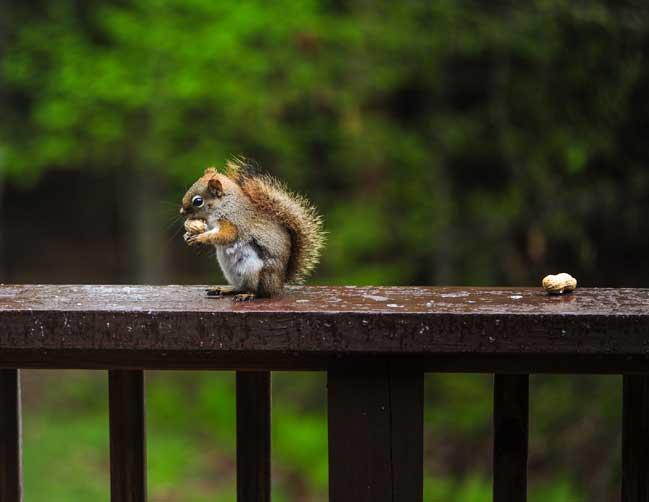 squirrel-on-rail
